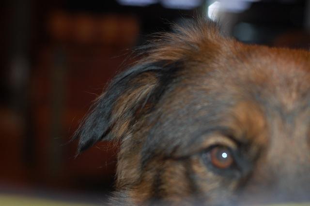 Moose ear