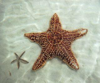 2-starfish1
