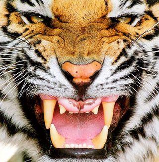 TigerDM0309_468x478