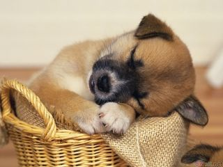 Sleeping_puppy_1