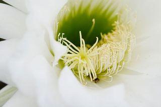 Cactus_flower
