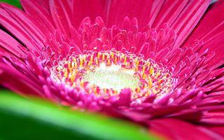 Aster_Flower
